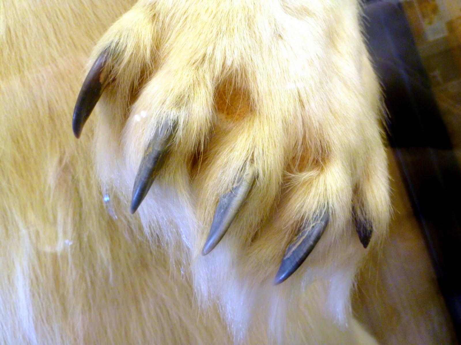 Polar bear claws - photo#3