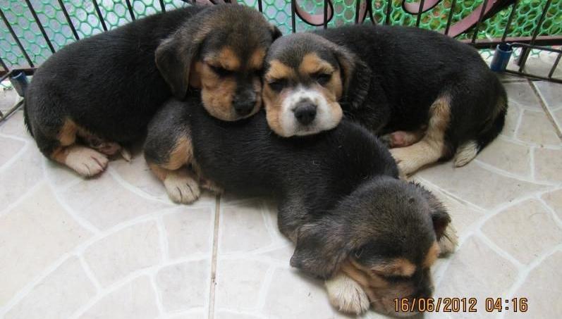 pet catalog: Beagle Puppies