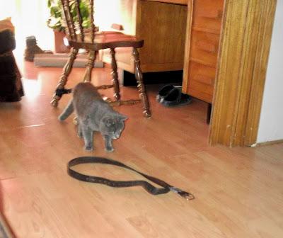 grey cat pauses before belt