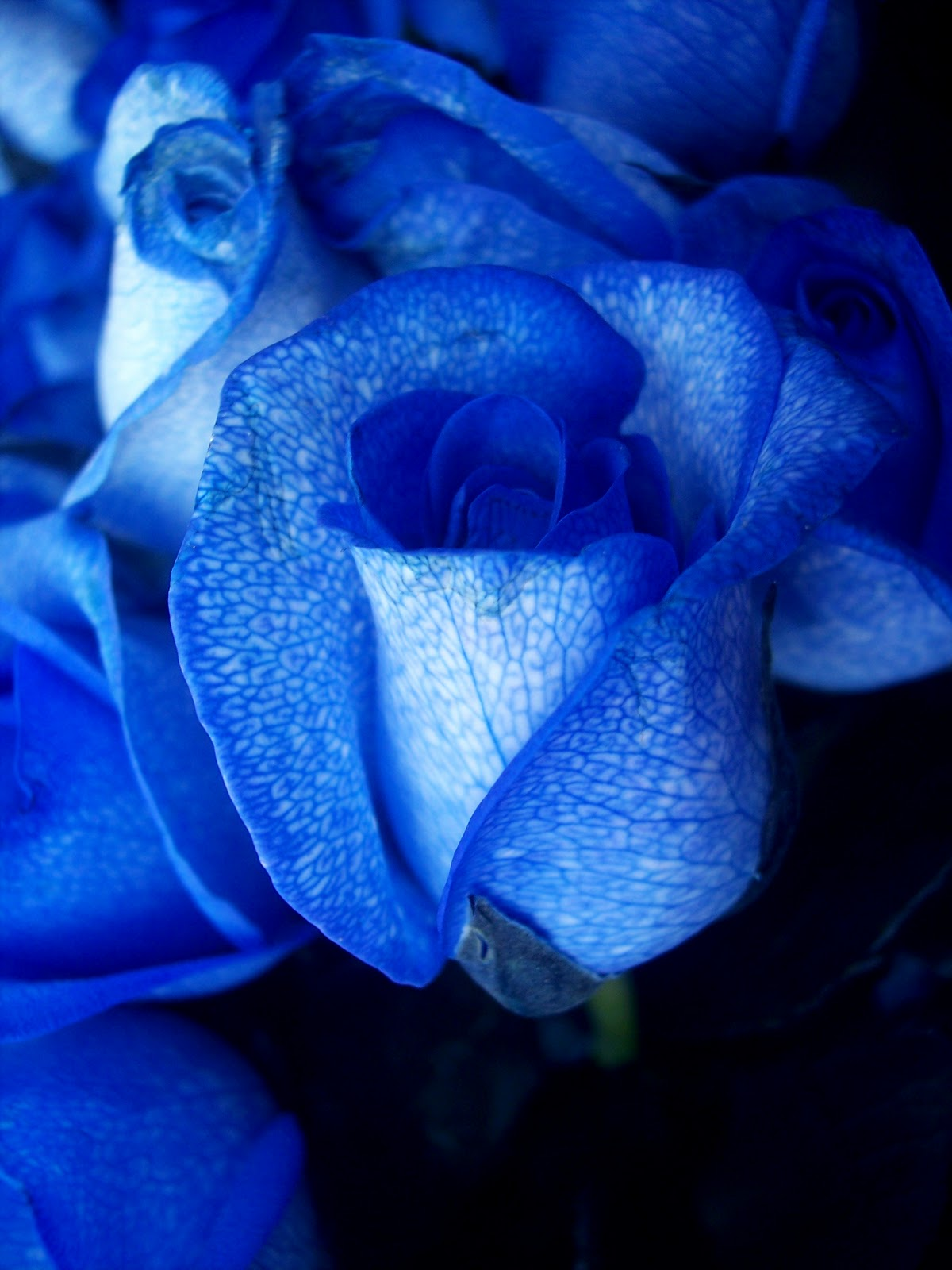 of blue rose flowe...