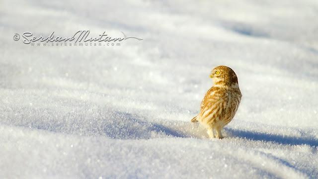 kukumav baykuşu