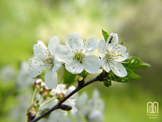 вишня в цвету, цветы