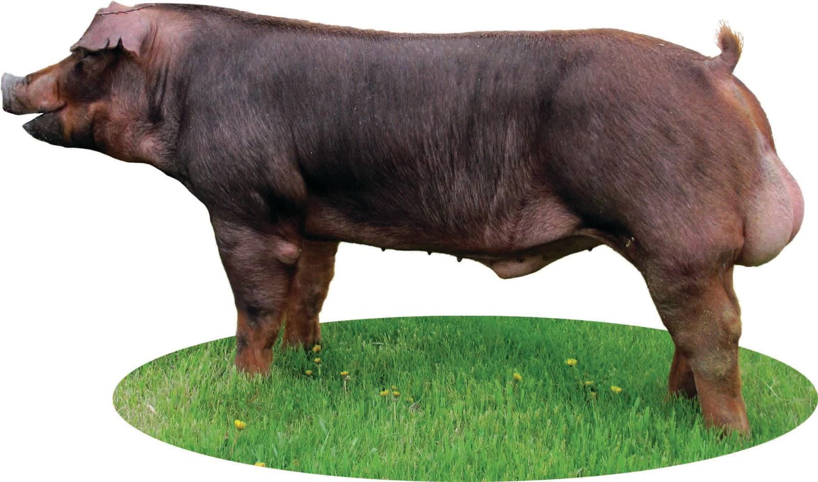 National Swine Registry: Pedigree Portal: Breed ...1600 x 944 jpeg 264 КБ
