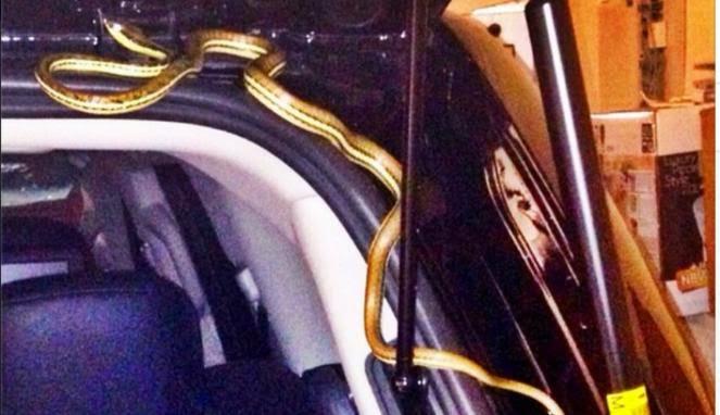 Ular yang Ditemukan di Mobil Mewah Maia Estianty