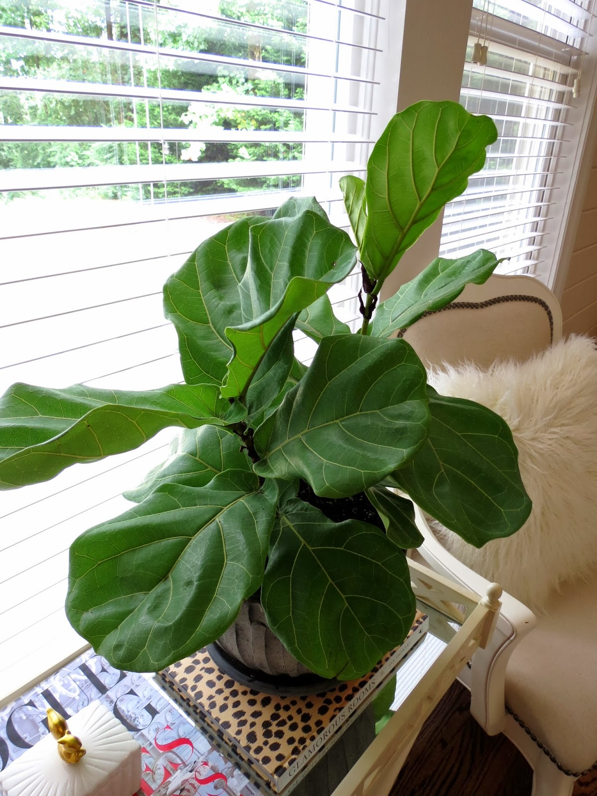 caring for house plants a fiddle leaf fig story and an nameless orchid