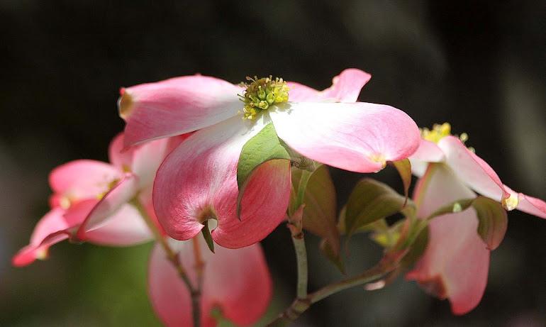 Pink Dogwood, Spring 2012