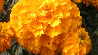 yellow Marigold flower