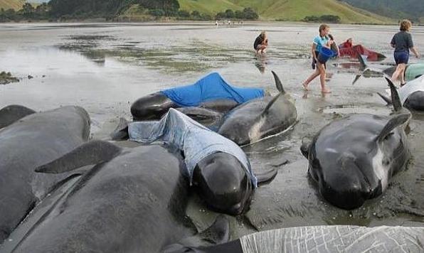 Lebih 100 Ikan Paus Mati Terdampar