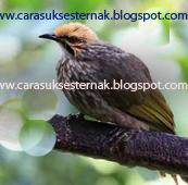 Ternak Burung Cucak Rowo Bagi Pemula