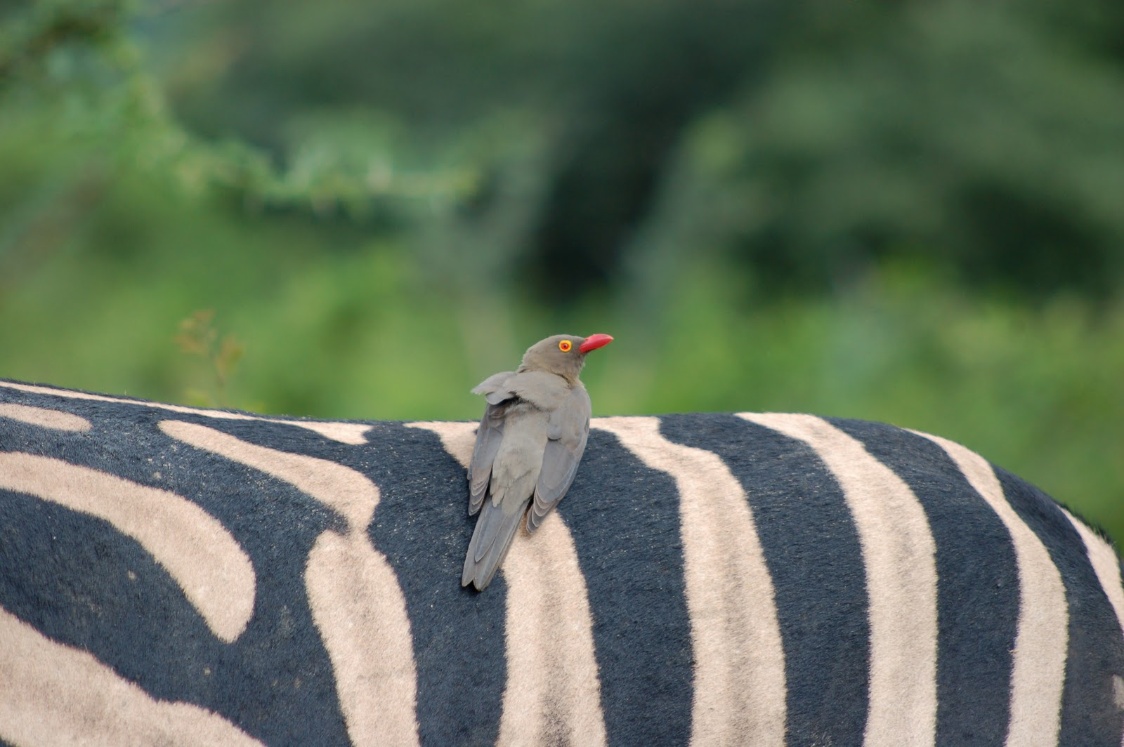 Red-billed Oxpecker Buphagus erythrorhynchus on the back of a Zebra at ...