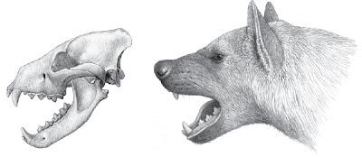 extinct hyaenidae Chasmaporthetes