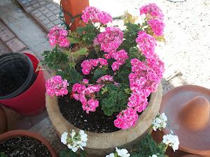 Bloomin' geranium