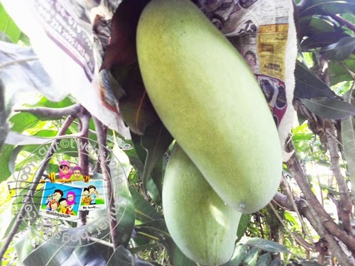 mangga besar