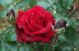 Bunga Mawar > Rosaceae