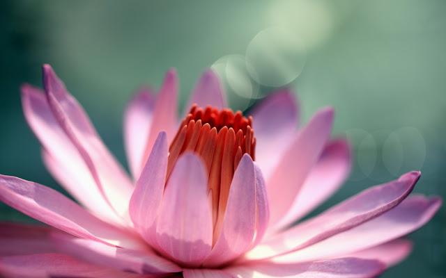 Flor Rosada Imágenes de Flores para San Valentin