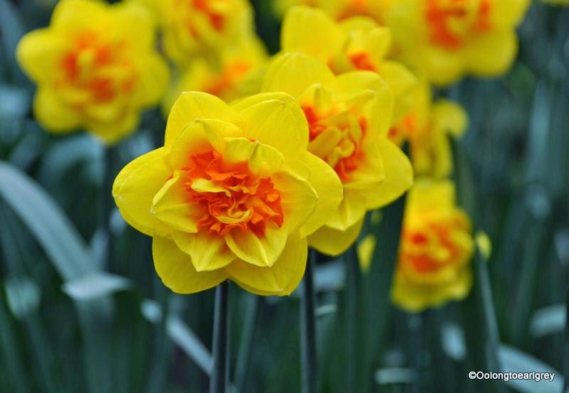 Daffodil, Keukenhof Gardens, The Netherlands