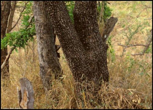 Pueden ver al leopardo?