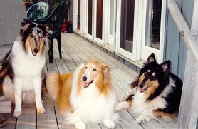 Rough Collie picture