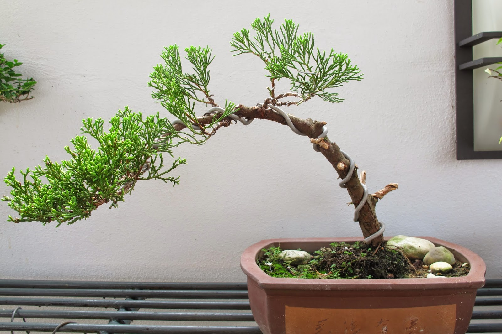 Speaking Out My New Hobby Cultivating The Art Of Bonsai