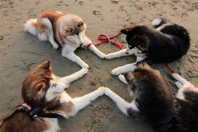 siberian-husky-dog-show
