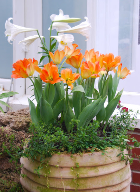 Pretty pot of Easter lilies and orange tulips in the Fern Room at Phipps.