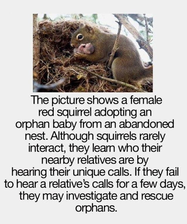 This picture shows a female red squirrel adopting an orphan baby from an abandoned nest.