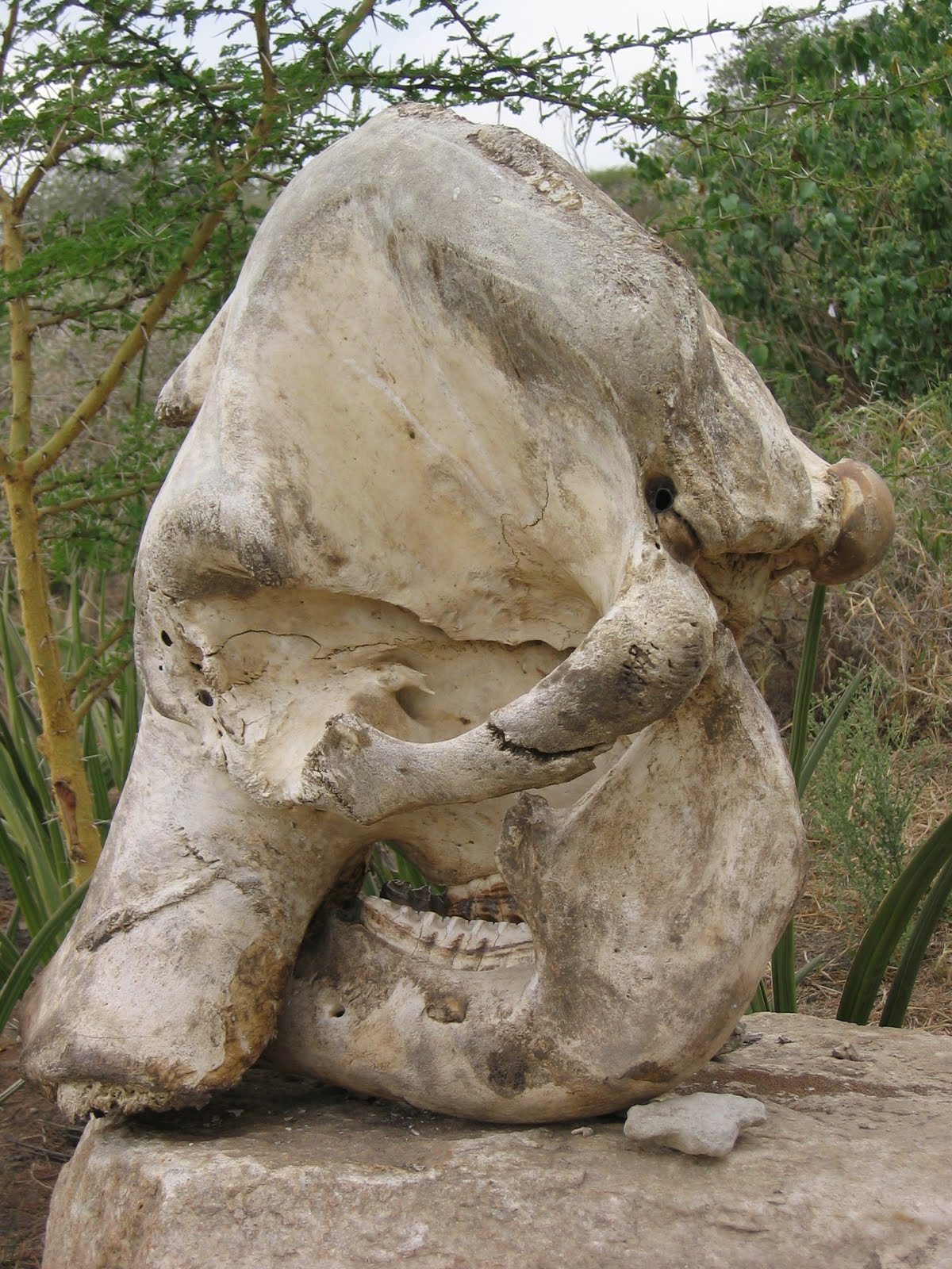 Cráneo de elefante