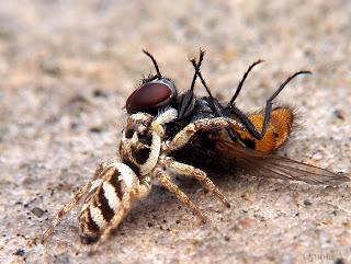 A Spider kills a flys
