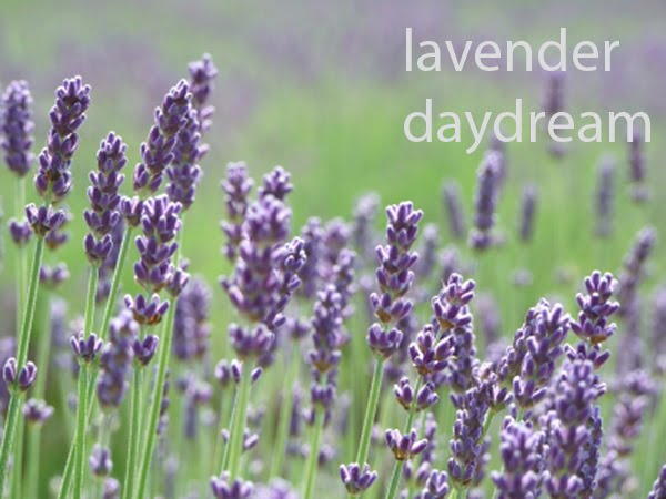lavender daydream