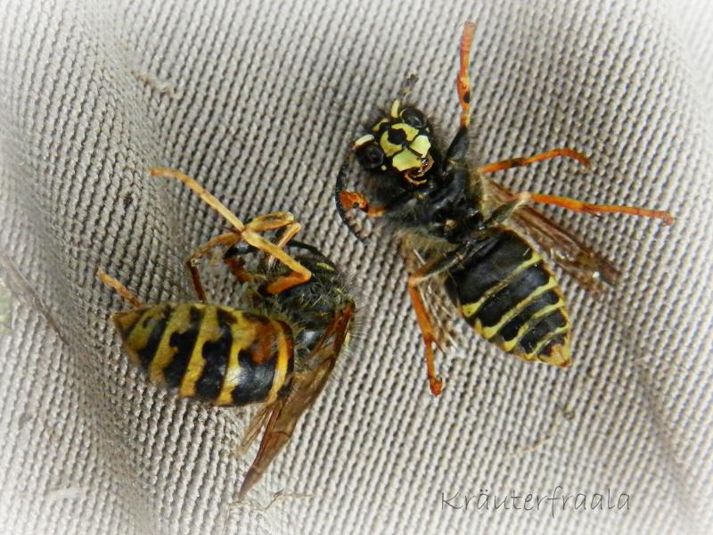 beim kr uterfraala wespenzeit mittlere wespe und das nest im stachelbeerbusch. Black Bedroom Furniture Sets. Home Design Ideas