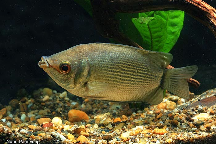 Ikan Gamba Related Keywords - Ikan Gamba Long Tail ... Ikan Tambakan