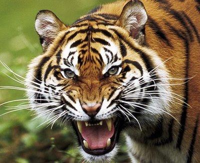 El Arpa Mágica: Tigre, Mitos y Simbología Parte 1 Bengal Tigers Attacking