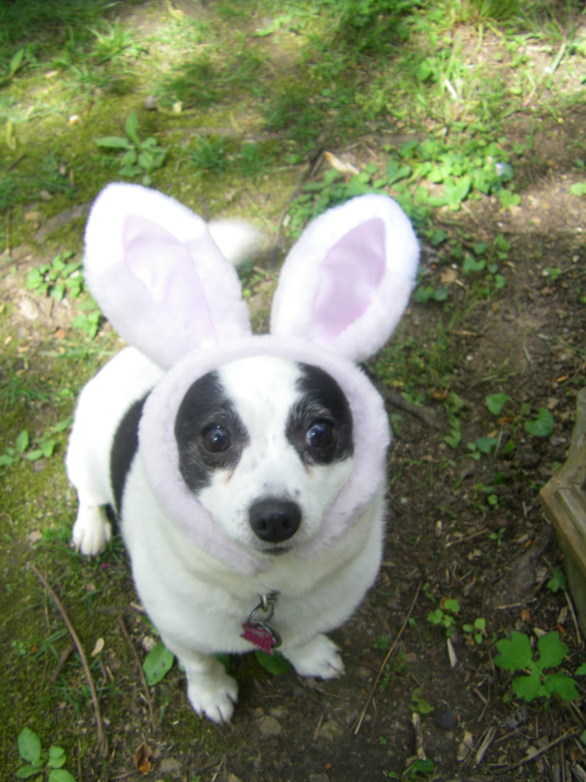Dog And Human Mix Dogs in bunny ears would