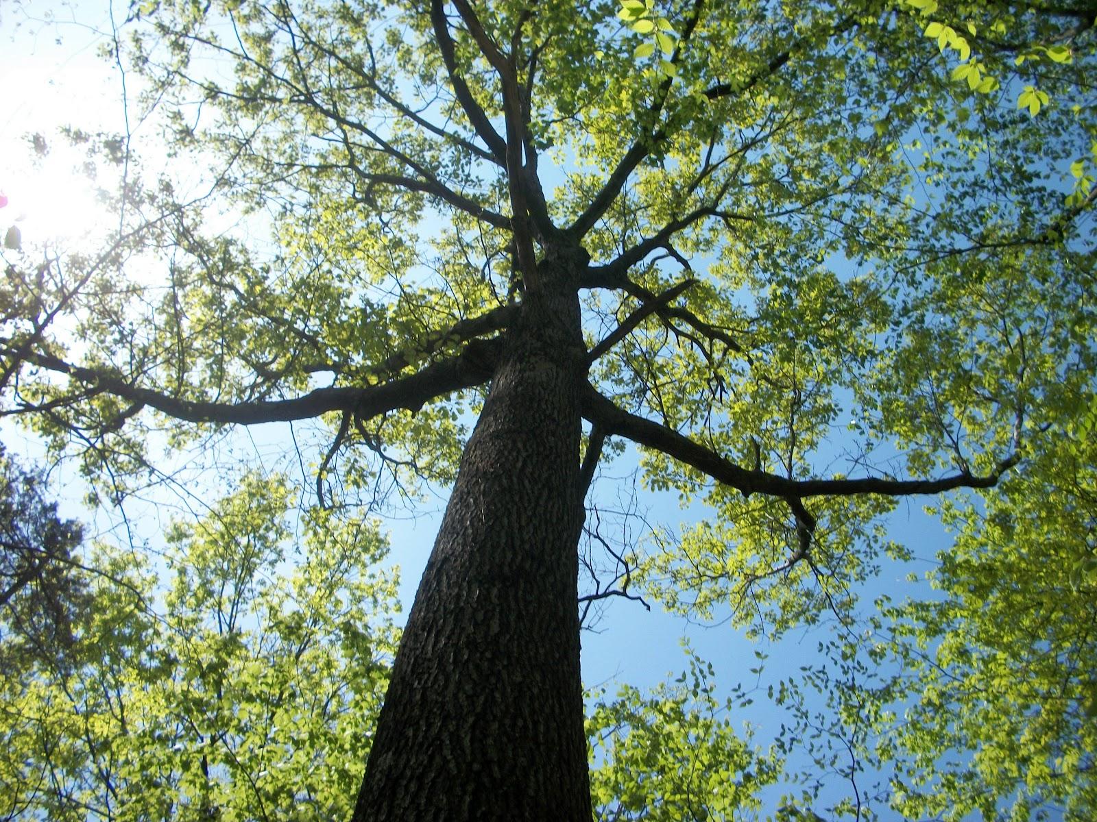 Black Oak Tree ~ Full spectrum biology a plague to remember the untold