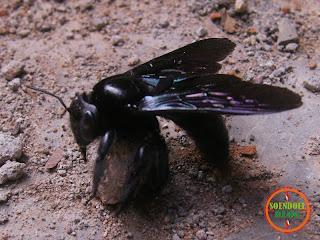 Kumbang Yang Sekarat Menunggu Mati