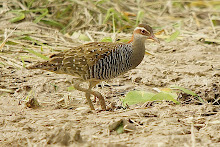 Buff-banded Rail_2011