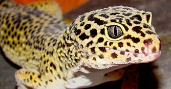 Precious Lizard In Pakistan Leopard Gecko Best Right Way
