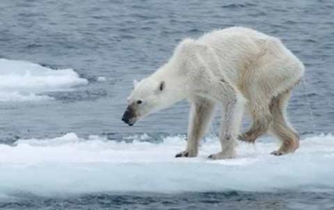 esta-foto-de-una-osa-polar-encendio-las-alarmas-sobre-calentamiento-global
