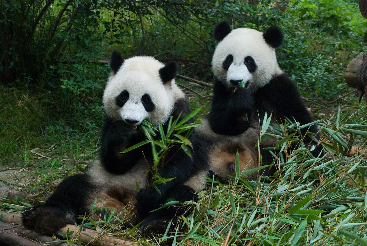 Panda Panda HD Wallpapers Panda Pictures Beautiful