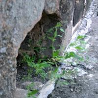 Chenopodium sp.