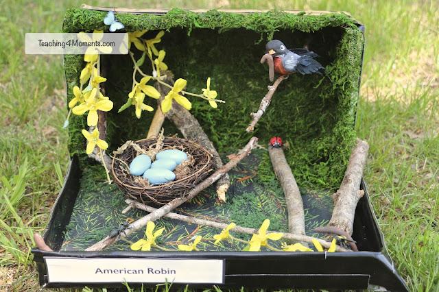 American Robin Diorama