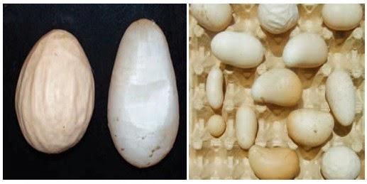Penyakit Egg Drop Syndrome dan Pencegahannya