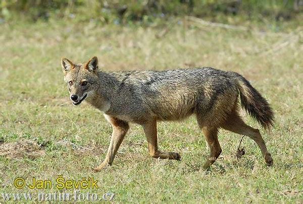 Que es el jackal
