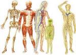 El cuerpo humano. Aparatos y sistemas.