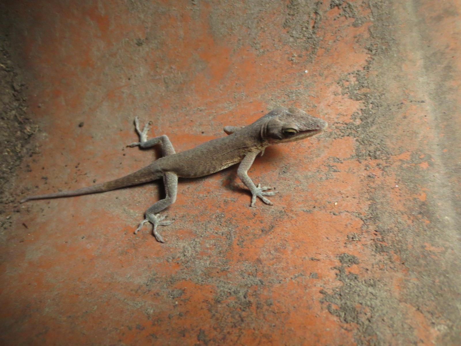 100+ [ What Do Backyard Lizards Eat ] | Sagebrush Lizard ...