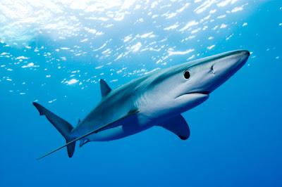 Beautiful Fastest Fish In The World Great Blue Shark