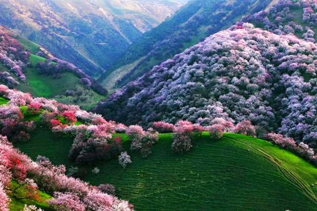 Yili Apricot Valley, China