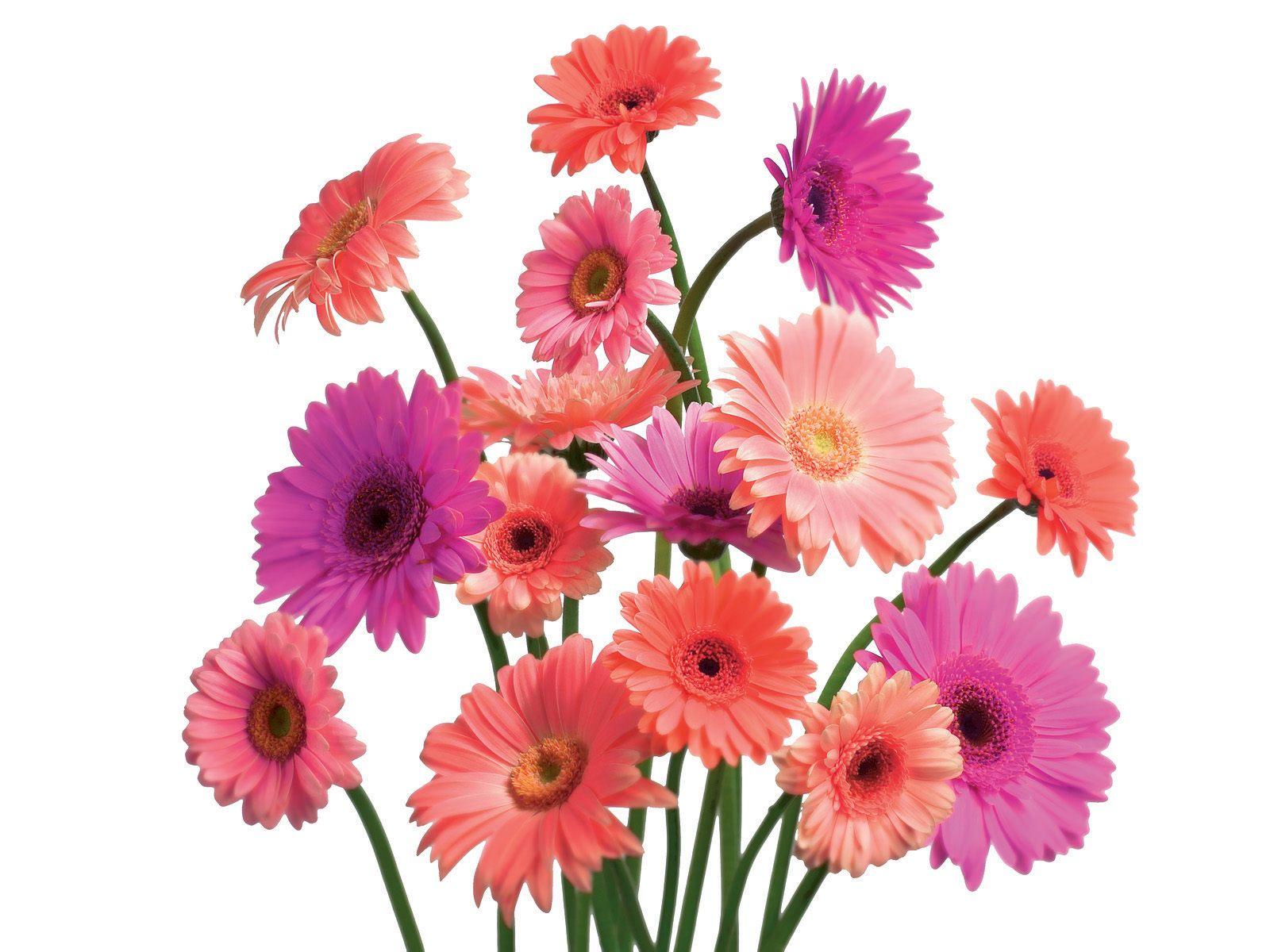 Beauty Flower: Gerbera Daisy Flower