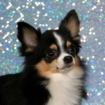 cute dogs long haired chihuahua