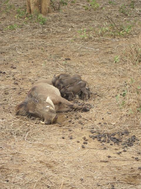 Jabalí verrugoso en Bandia, Senegal